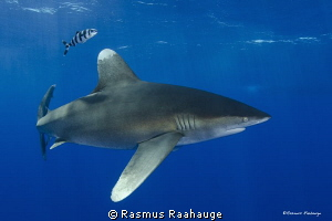 Oceanic White Tip - CAT Island Bahamas by Rasmus Raahauge 